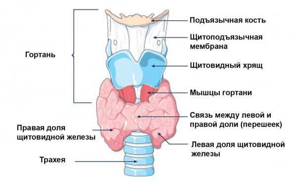 Невроз горла происходит в результате сокращения мышц горла