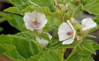 алтей растение в составе сиропа от кашля Алтейка