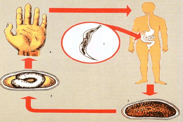 Орально-фекальный путь передачи инфекции
