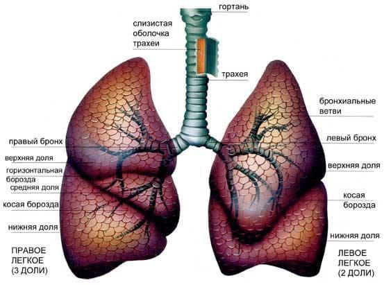 анатомическое строение легких
