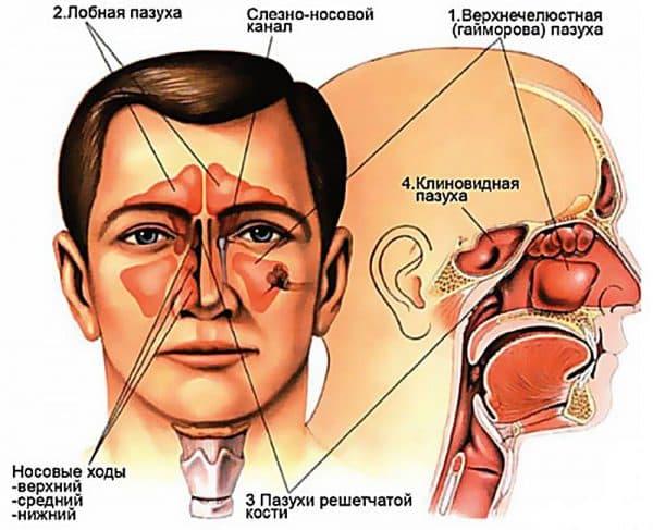 Анатомия носоглотки