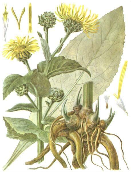 корень девясила при лечении кашля