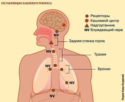 sostavlyayushhie-kashlevogo-receptora