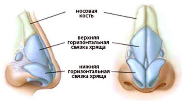 Строение носовой перегородки
