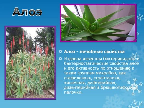lechebnye-svojstva-aloe
