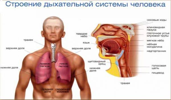 dyxatelnaya-sistema-cheloveka