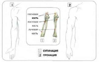 pronaciya-i-supinaciya-kistej-ruk