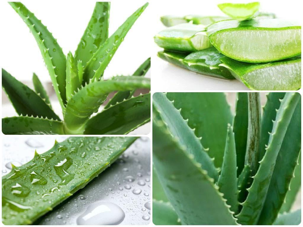 Сок алоэ при насморке у детей: полезные свойства растения, подготовка листьев для лечения, народные рецепты и побочные действия