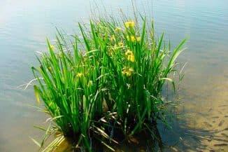 Болотное растение аир
