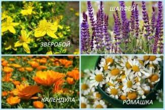 romashka-shalfej-kalendula