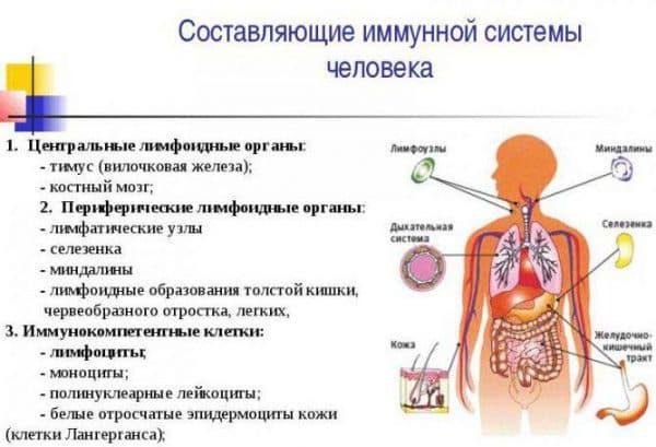 sostavlyayushhie-immunnoj-sistemy-cheloveka
