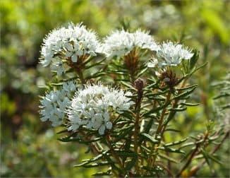 Багульник признан ядовитым растением, поэтому важно соблюдать дозировку его применения в настоях.